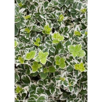White Album Wintercreeper (Euonymus) Live Shrub, Green and White Foliage, 1 Gal.