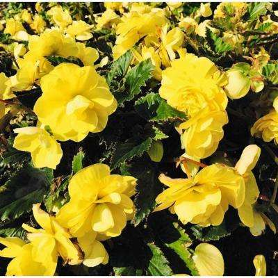 Yellow begonia annuals garden plants flowers the home depot nonstop joy yellow tuberous begonia live plant yellow flowers 425 in mightylinksfo