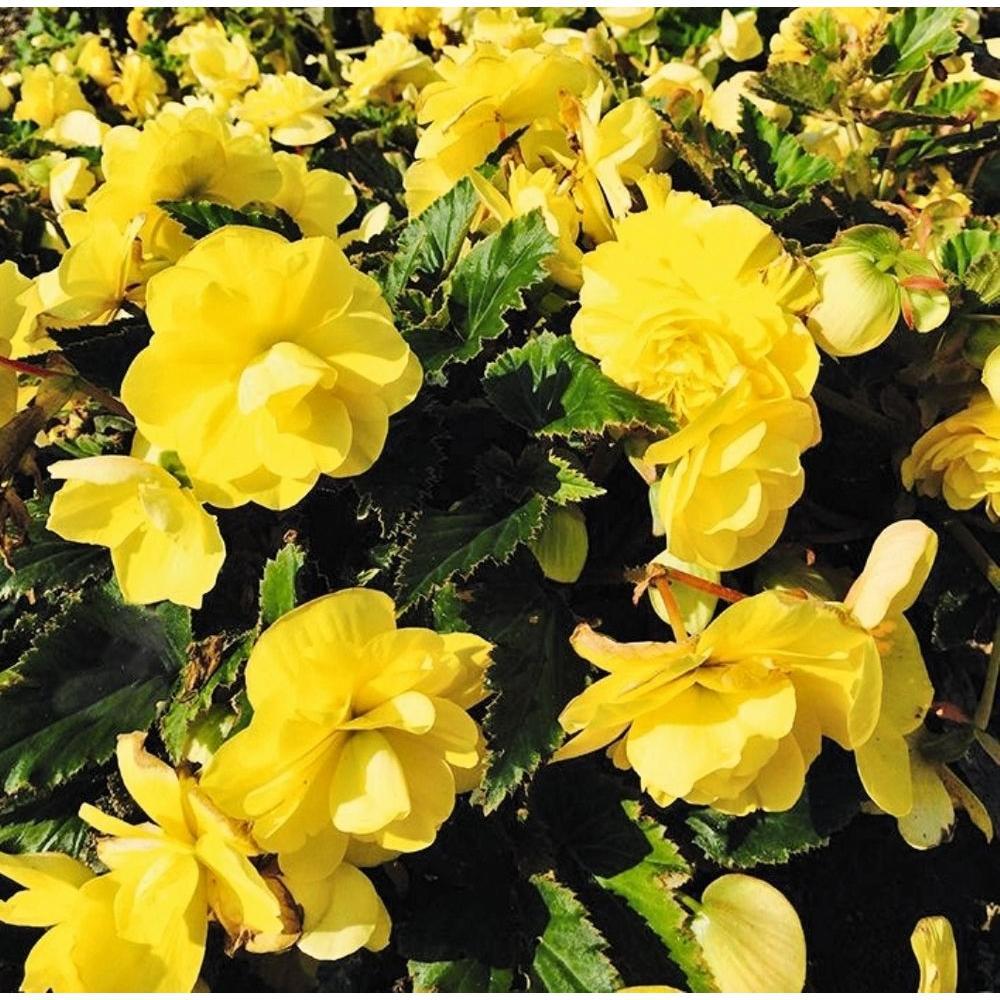 Begonia annuals garden plants flowers the home depot nonstop joy yellow mightylinksfo