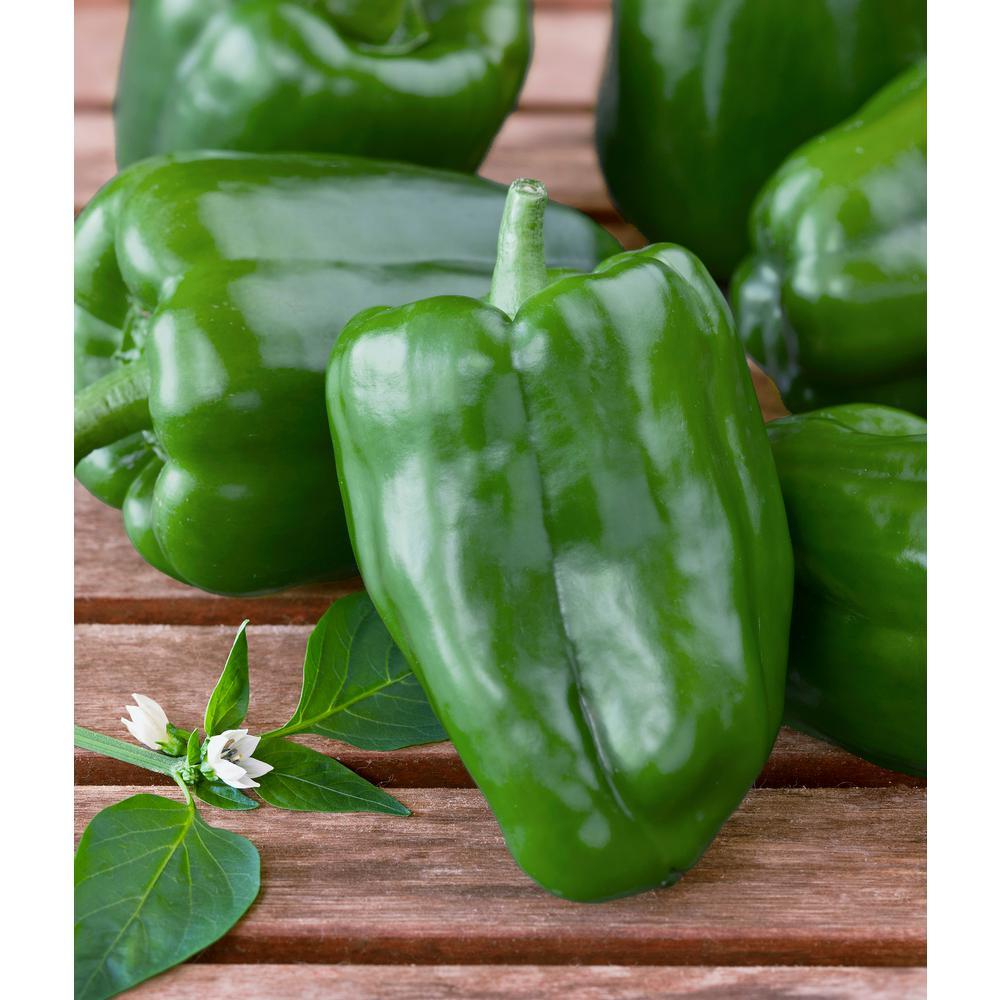 19.3 oz. Sweet Green Bell Pepper Plant 2-Pack