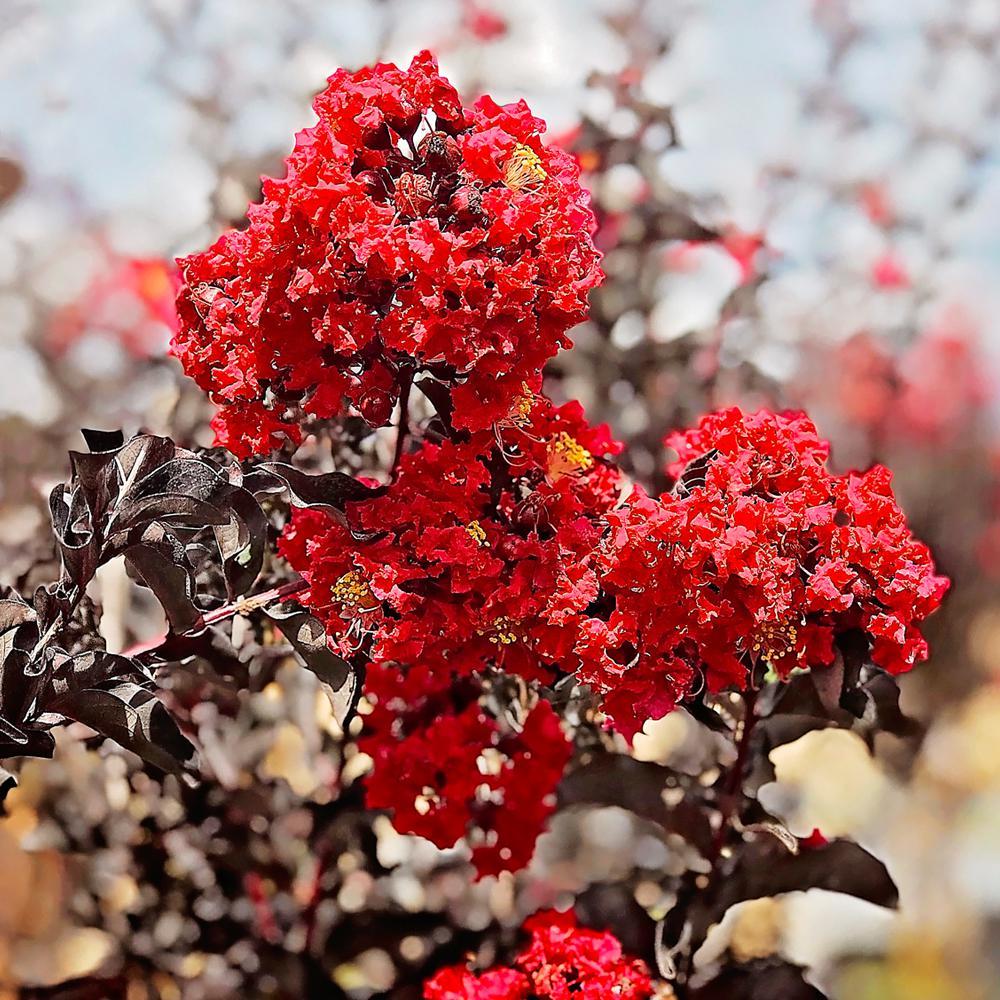 3 Gal. Crimson Red Black Diamond Crape Myrtle Tree
