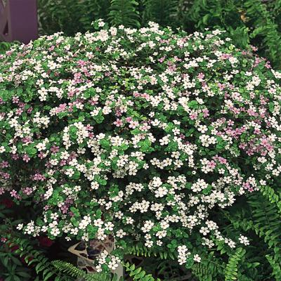 10.75 in. Mixed Bacopa Hanging Basket