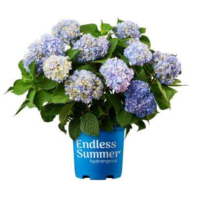 3 Gal. Original Hydrangea Plant with Pink and Blue Flowers