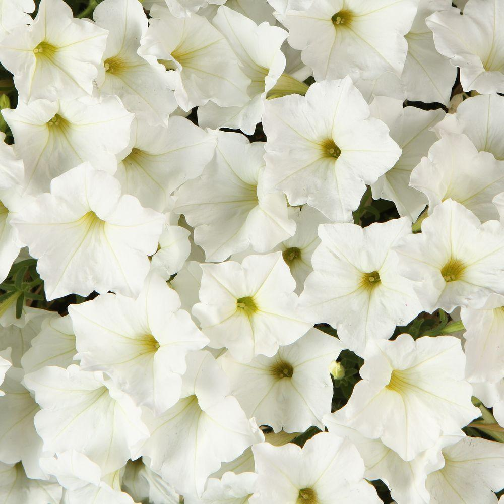 Proven Winners Supertunia White (Petunia) Live Plant, White Flowers, 4.25 in. Grande