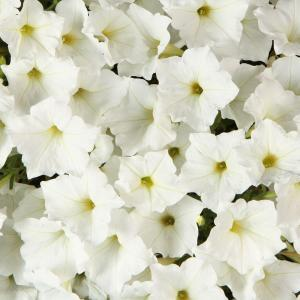 Supertunia White (Petunia) Live Plant, White Flowers, 4.25 in. Grande