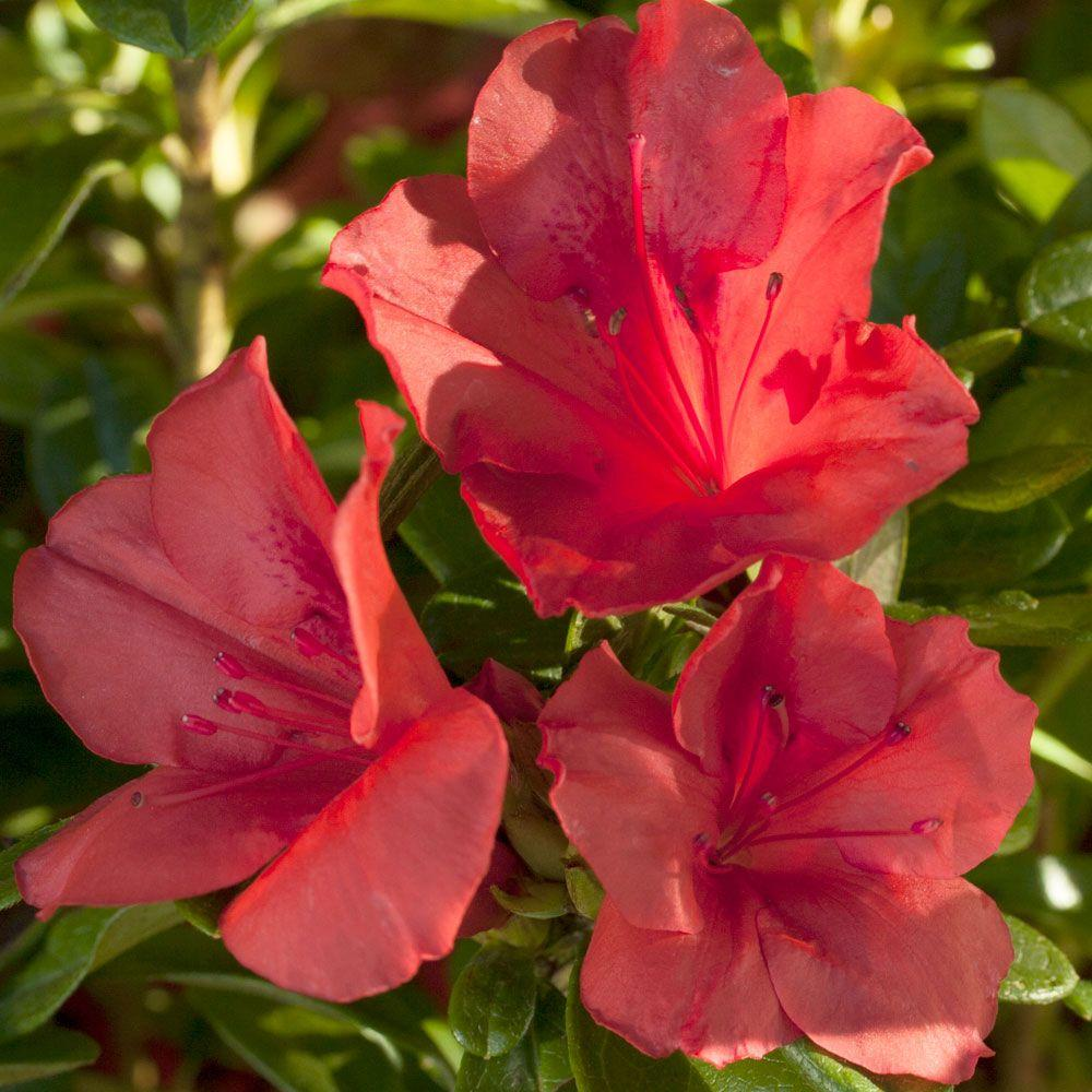 Encore Azalea 3 Gal. Autumn Sunset - Red Multi-Season Flowering Dwarf Shrub