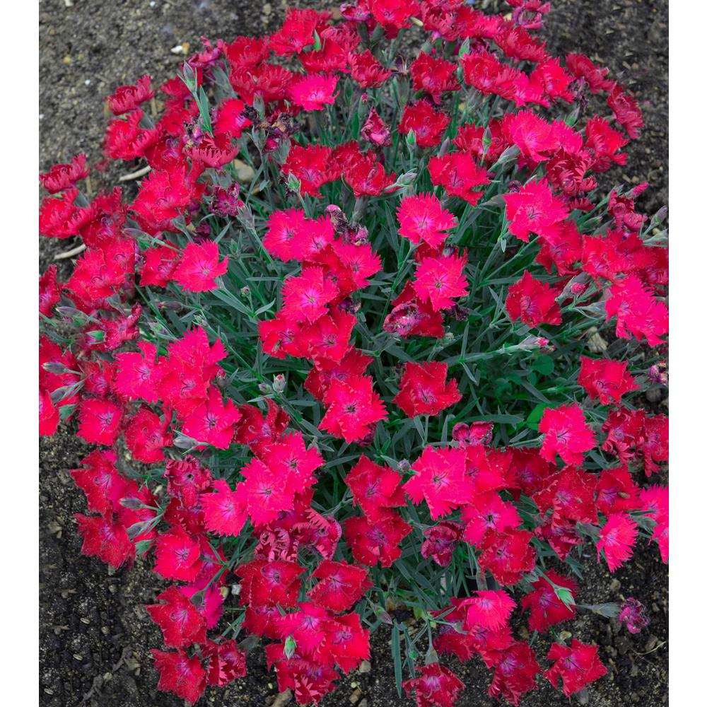 Proven winners paint the town magenta pinks dianthus live plant proven winners paint the town magenta pinks dianthus live plant pink flowers mightylinksfo Choice Image