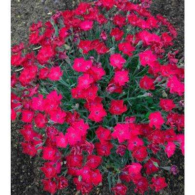 4.5 in. Qt. Paint The Town Magenta Pinks (Dianthus) Live Plant, Pink Flowers