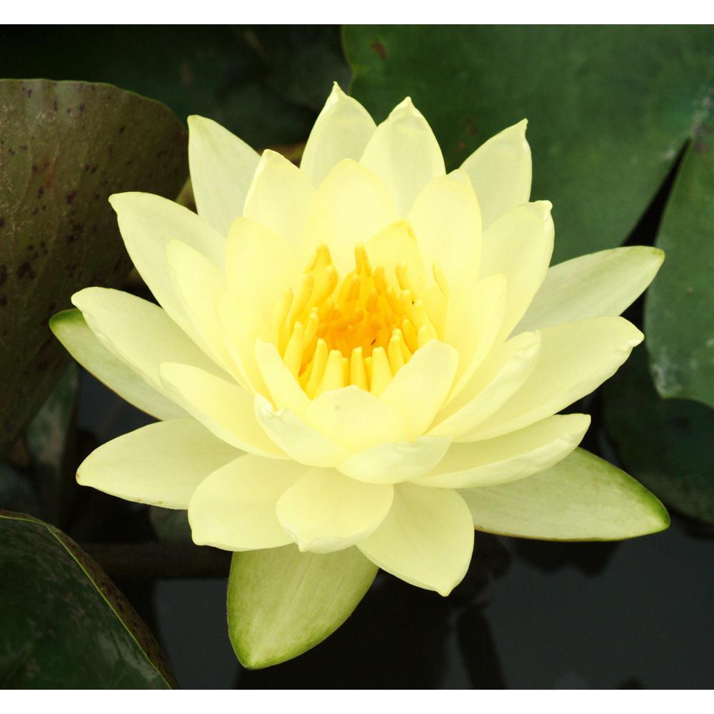 Van zyverden premium series water lily joey tomocik kit 83627 van zyverden premium series water lily joey tomocik kit izmirmasajfo