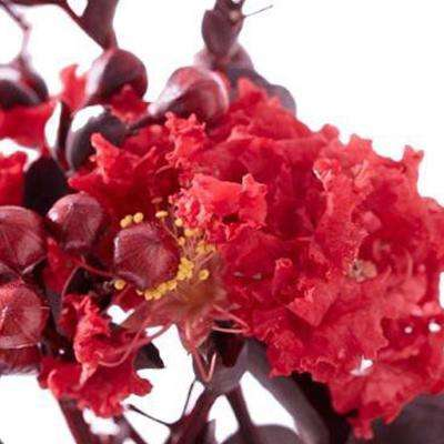 Black Diamond Crimson Red Crape Myrtle Dormant Packaged Tree