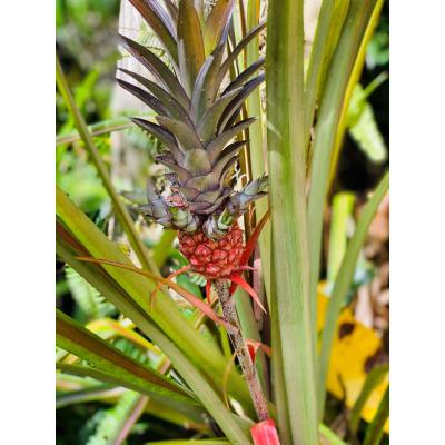 1.5 Qt. Pineapple Plant Red in 5 In. Grower's Pot