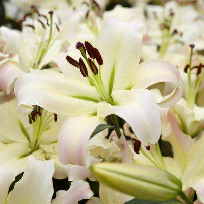 Mammoth Tall White Lily Pretty Woman Bulbs (7-Pack)