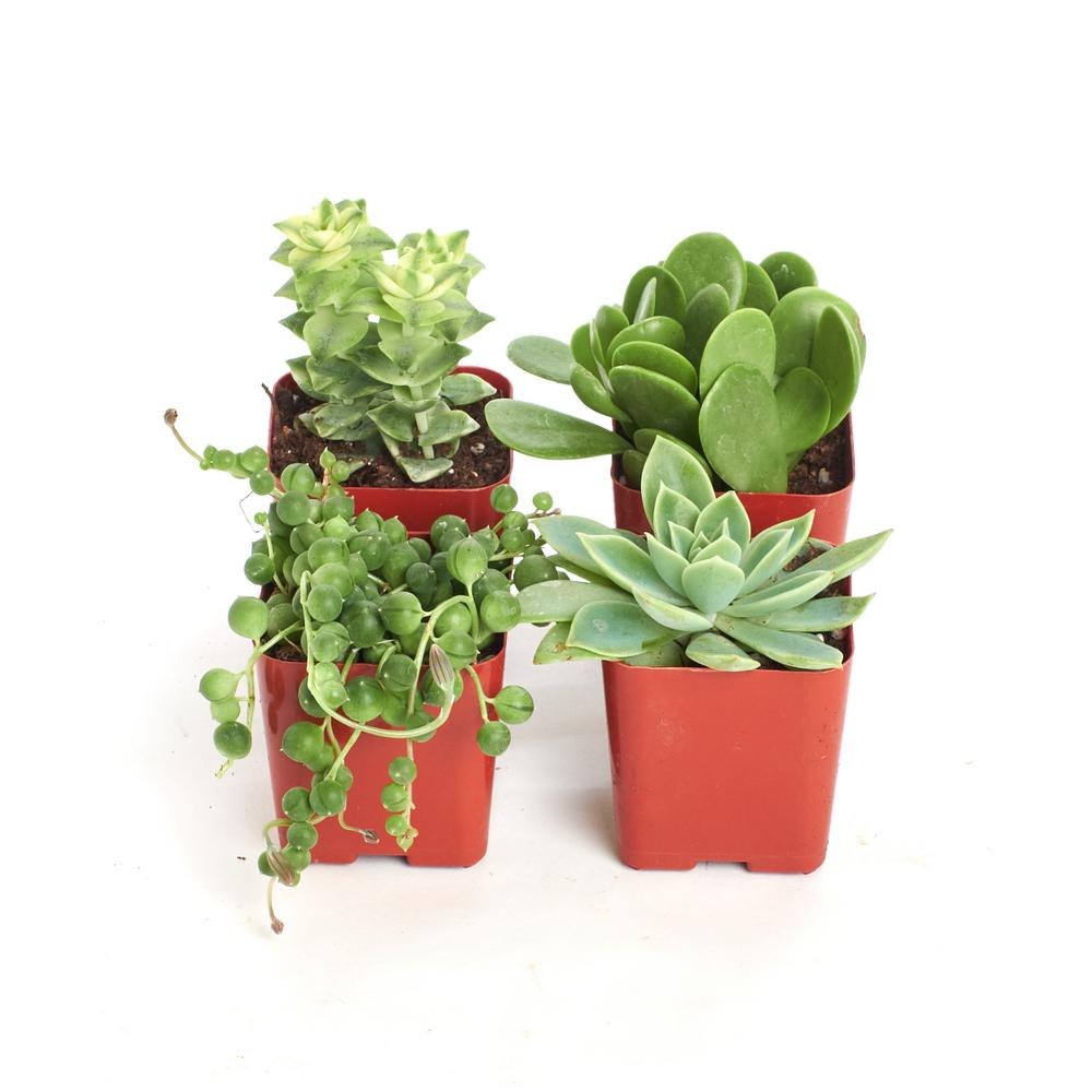 2 in. Green Succulent (Collection of 4)