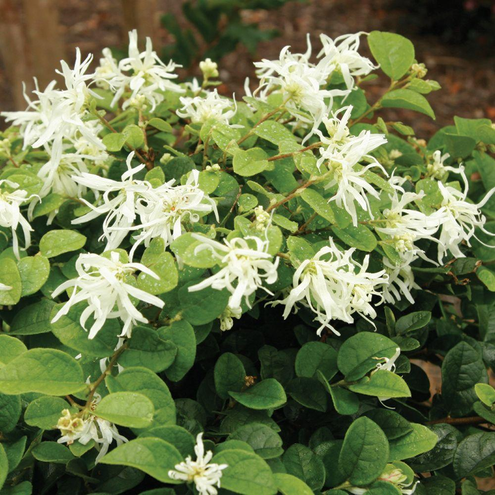 2 Gal. Emerald Snow Semi-Dwarf Loropetalum, Evergreen Shrub with Green Foliage,