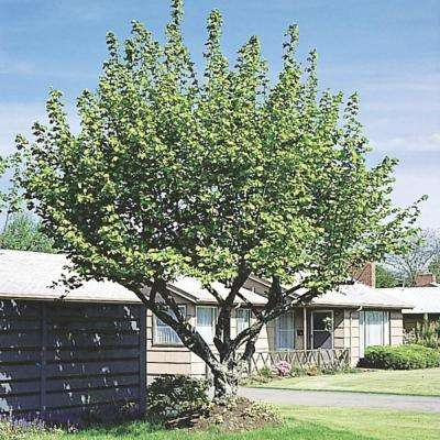 North Star Dwarf Cherry (Prunus) Live Bareroot Standard Fruiting Tree (1-Pack)