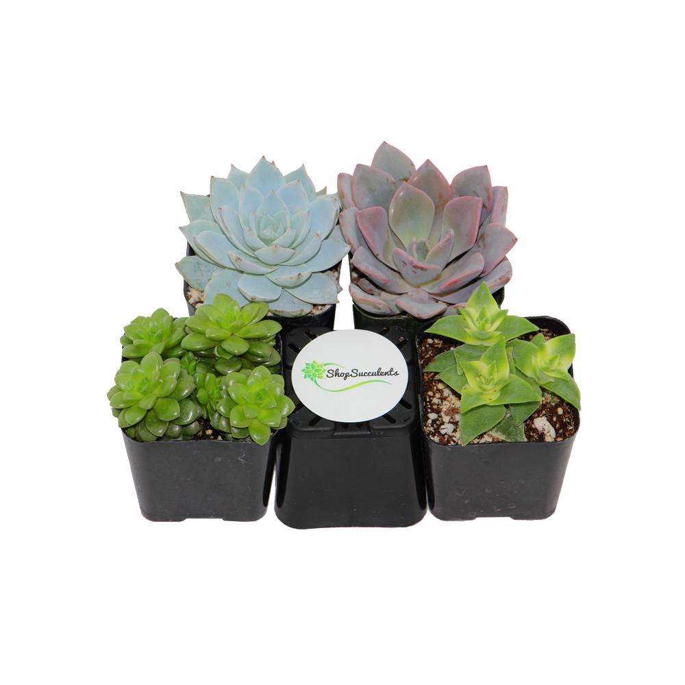 2 in. Assorted Succulent (Collection of 4)