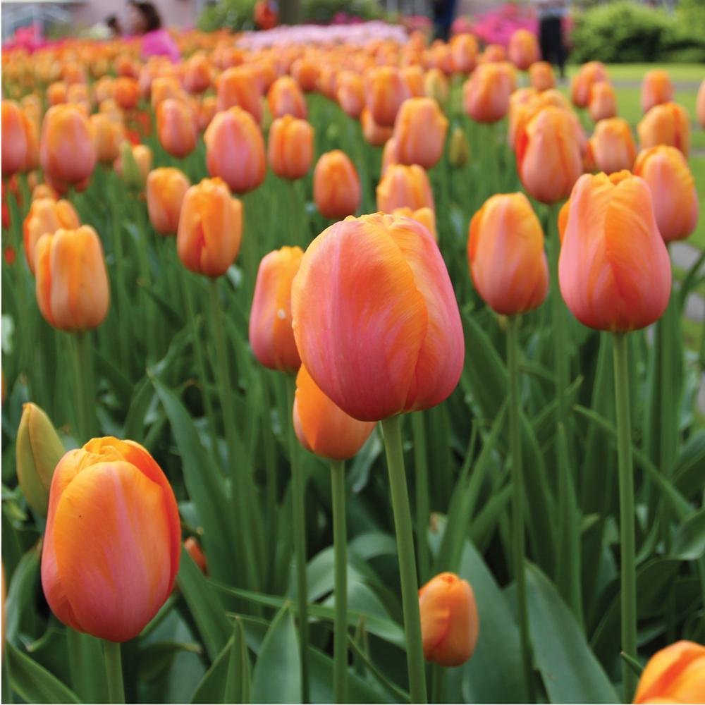 Tulip Dordogne Bulbs (100-Pack)