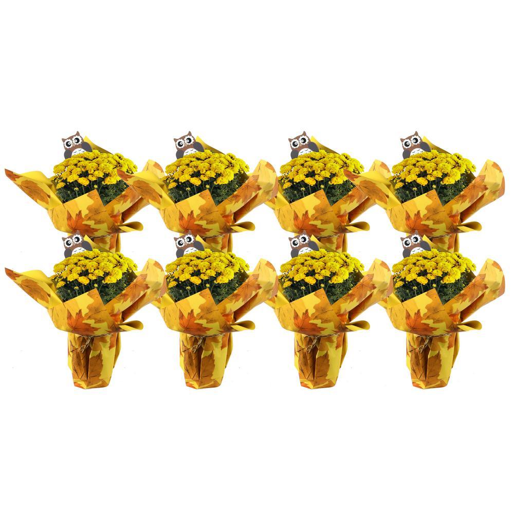 1 Qt. Ready to Bloom, Yellow, Fall Mums, Chrysanthemum (8-Pack)