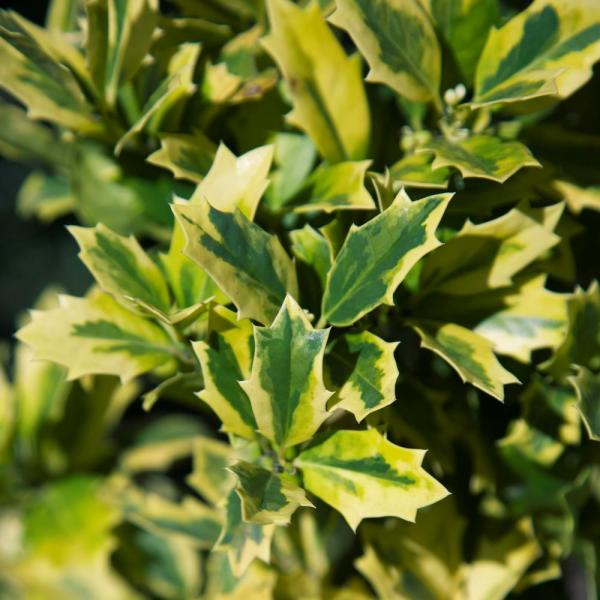 3 Gal. Golden Oakland Holly Tree with Pyramidal Yellow and Green Variegated Foliage