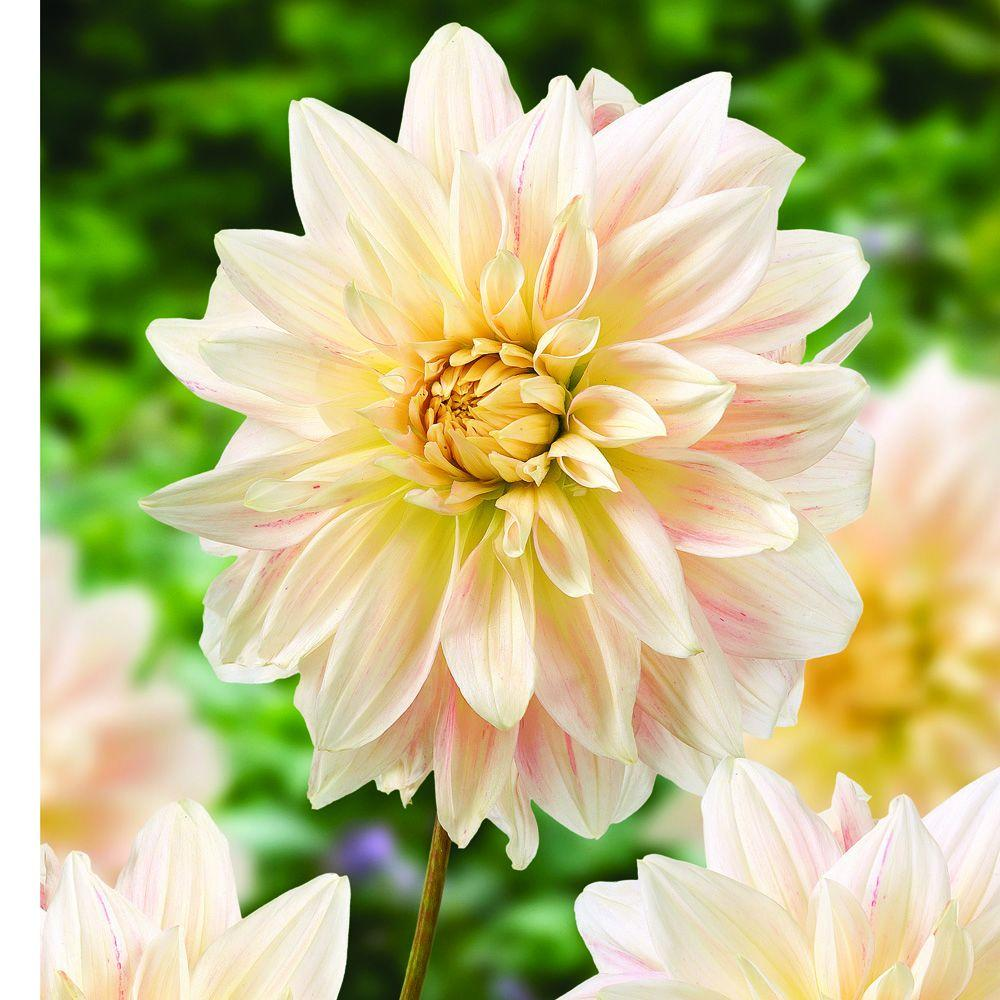 null Dahlia Creme Dormant Tubers (4-Pack)-DISCONTINUED