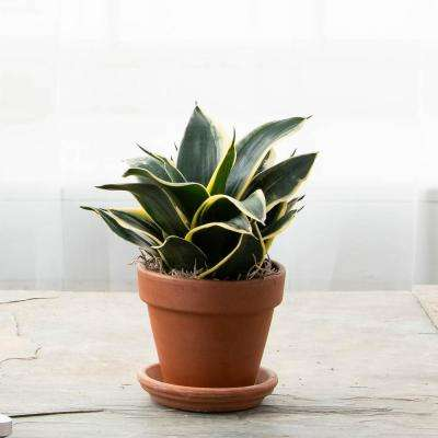 4 in. Pot Black Gold Snake Plant Live Potted Tropical Plant (1-Pack)