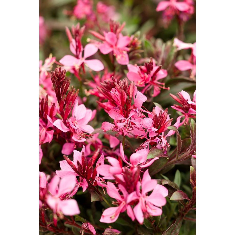 Proven winners karalee petite pink butterfly flower gaura live proven winners karalee petite pink butterfly flower gaura live plant pink flowers mightylinksfo