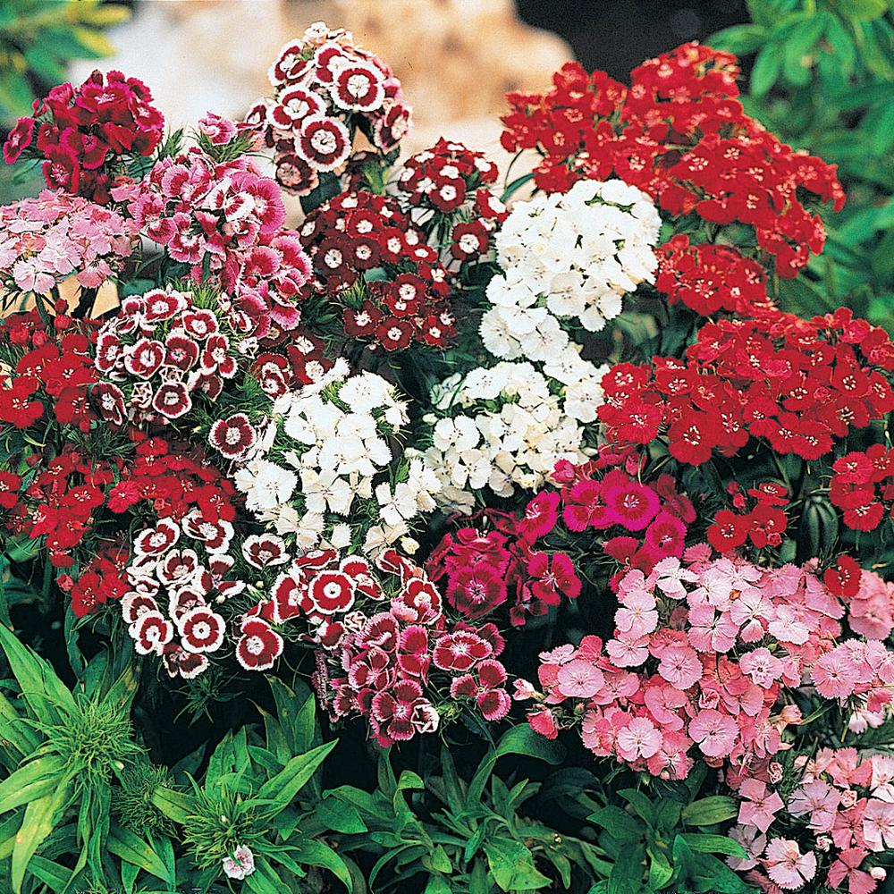5ad3d0b485bc Sweet William (Dianthus) Mixture Live Bareroot Plants Multi-Colored  Flowering Groundcover Perennial (5-Pack)