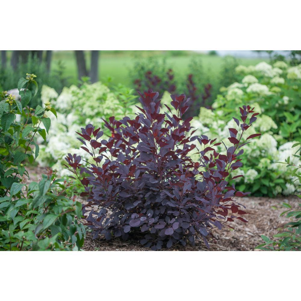 4.5 in. qt. Winecraft Black Smokebush (Cotinus) Live Shrub, Rich Purple to Orange Foliage