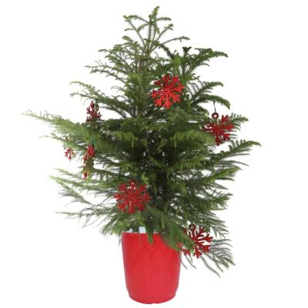 10in. Fresh Norfolk Island Pine in Red Decor Pot