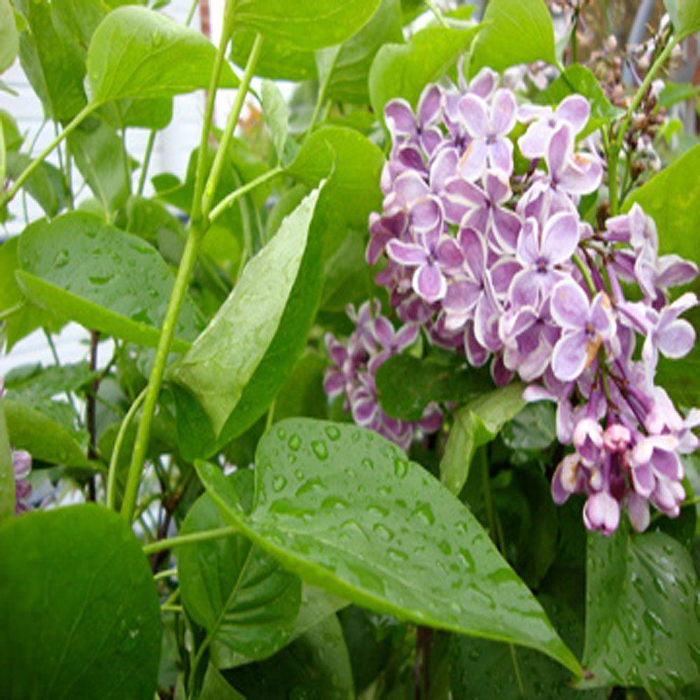 OnlinePlantCenter 1 gal. Sensation French Hybrid Lilac Tree