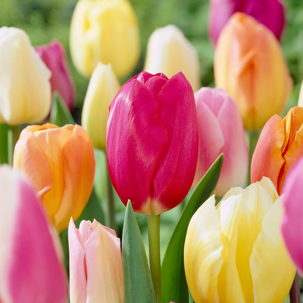 Garden State Bulb Tulip Spring Delight Mix Bulbs (50-Count/Pack)