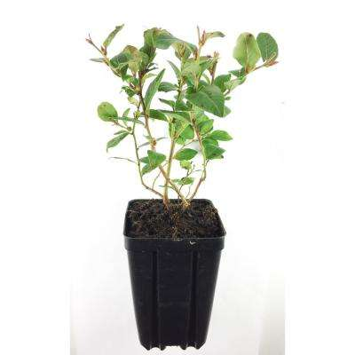 Northblue Blueberry Fruit Bearing Potted Shrub