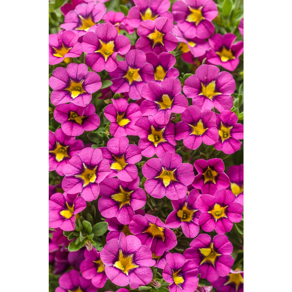 Pink annuals garden plants flowers the home depot superbells mightylinksfo Choice Image