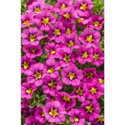 Superbells Hollywood Star (Calibrachoa) Live Plant, Rose Pink Flowerswith aYellow Throat, 4.25 in. Grande, 4-pack