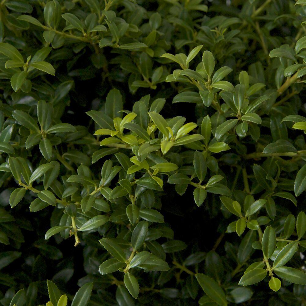 2.5 Qt. Soft Touch Holly(Ilex), Live Evergreen Shrub, Finely Textured Green
