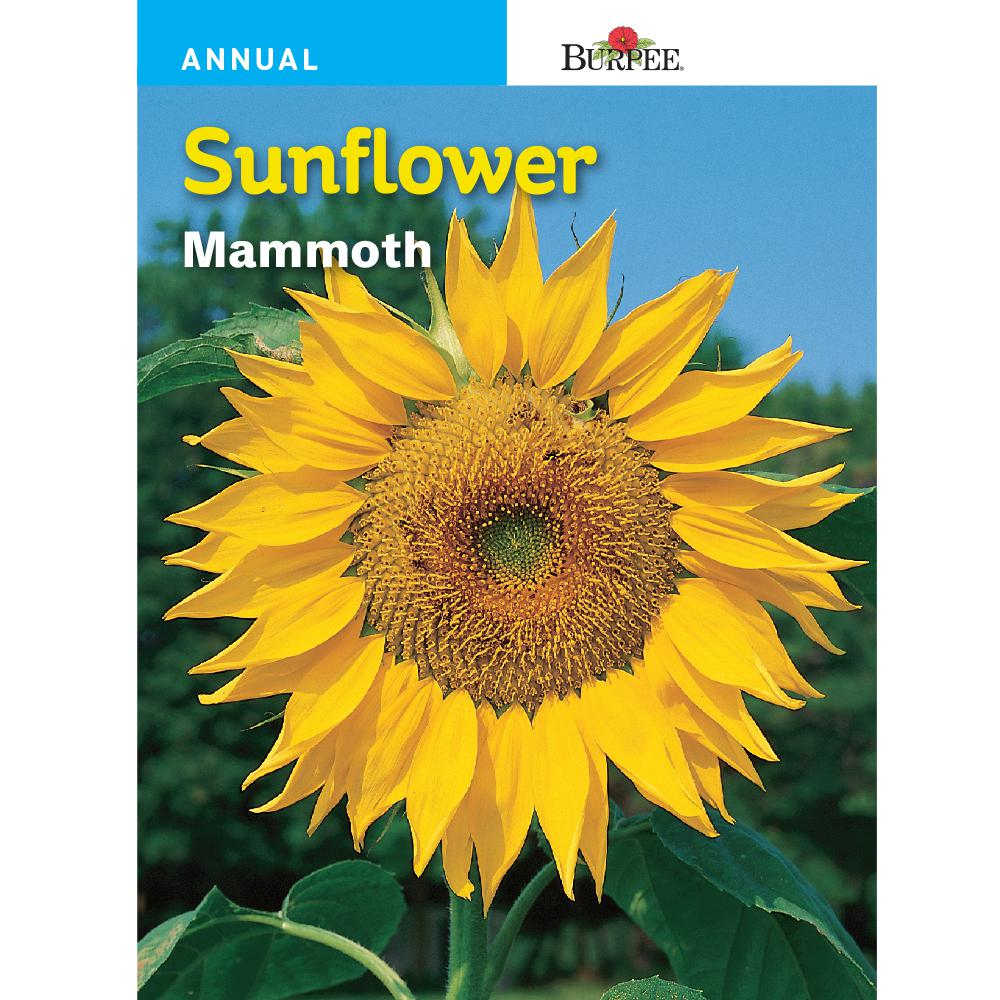 Burpee Sunflower Mammoth Seed 57745 The Home Depot