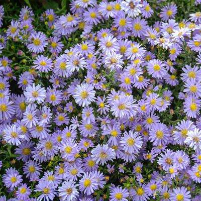 2 in. Pot Lavender Kickin Aster Live Deciduous Plant Lavender Colored Perennial (1-Pack)