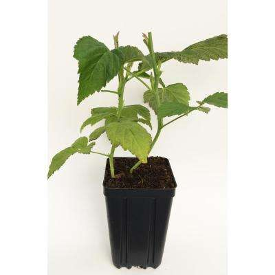 Joan J Fruit-Bearing Potted Thornless Red Raspberry Plant