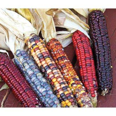 Ornamental Corn Painted Mountain (50 Seed Packet)