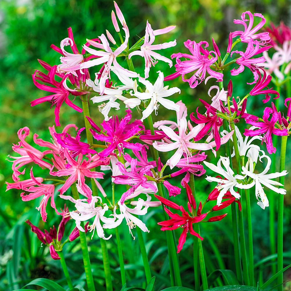 Nerine Mix Bulbs (5-Pack)