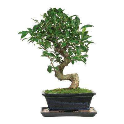 Golden Gate Ficus (Indoor)