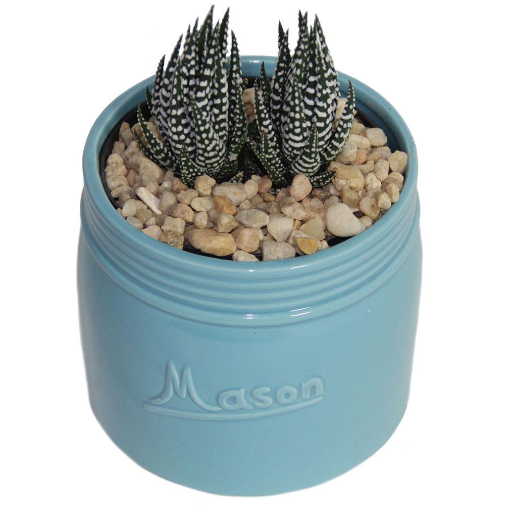 Haworthia Succulent in 4.5 in. Mason Jar Sea Blue
