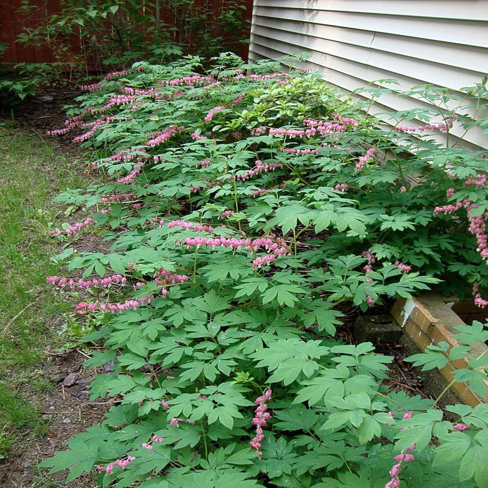Onlineplantcenter 1 Gal Old Fashioned Bleeding Heart