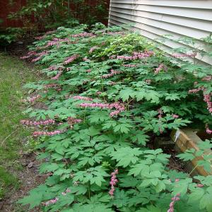 OnlinePlantCenter 1 gal Old Fashioned Bleeding Heart PlantD282CL