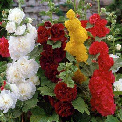 Mixed Colors Hollyhocks Collection Roots (10-Pack)