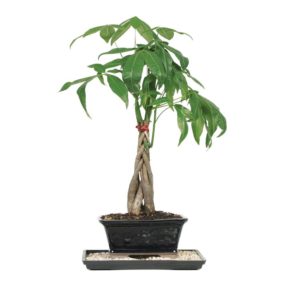 Brussel\'s Bonsai Braided Money Tree (Indoor)-DT-1024MT - The Home ...