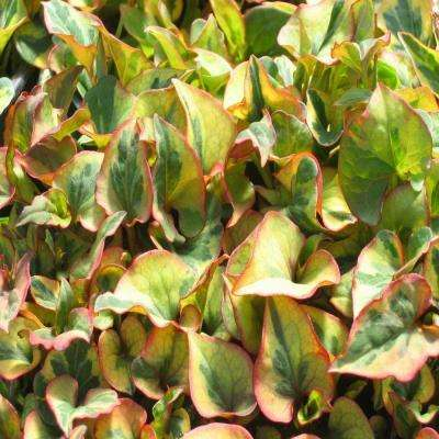 4 in. Chameleon Plant Potted Bog/Marginal Pond Plant