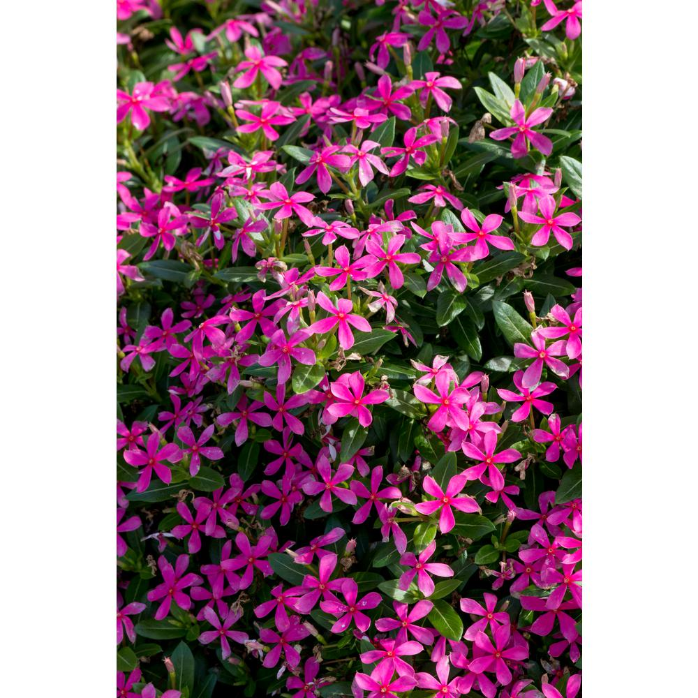 Costa Farms 1 Qt. Pink Catharanthus Annual Vinca Soiree Kawaii Live Outdoor Flowers in Grower Pot (8-Pack)
