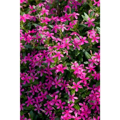 1 Qt. Pink Catharanthus Annual Vinca Soiree Kawaii Live Outdoor Flowers in Grower Pot (8-Pack)