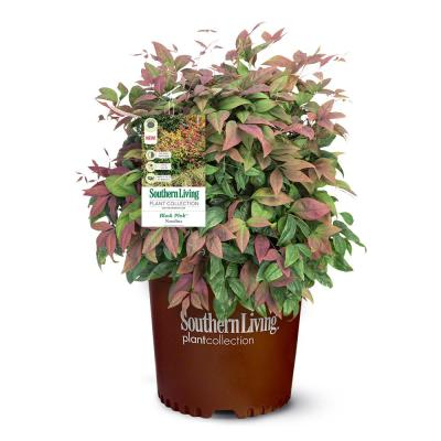 2.5 Qt. Nandina Blush Pink Shrub with Pink and Red Foliage